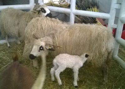 moutons megeve